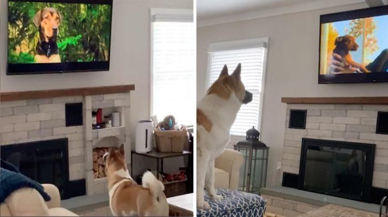 Большинство собак любит гулять, но этот щенок не такой: он предпочитает сидеть дома и смотреть любимый фильм
