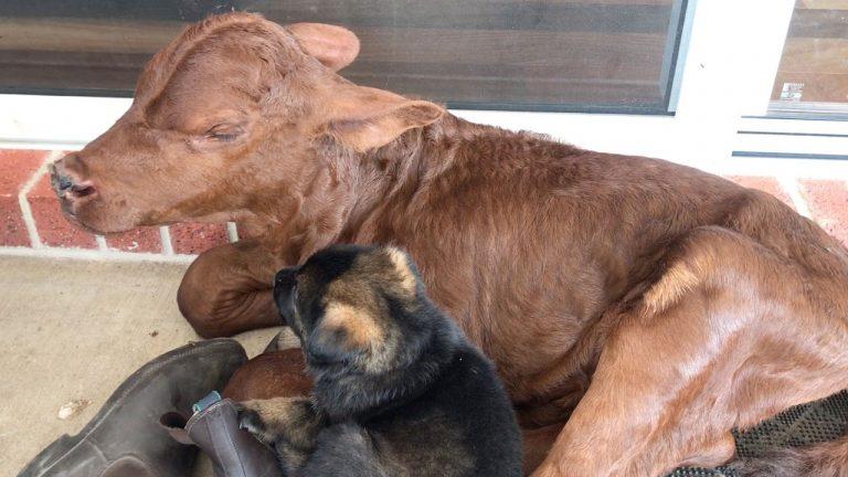 Теленок, которого усыновила овчарка, считает себя щенком: он так же играет и научился вилять хвостом