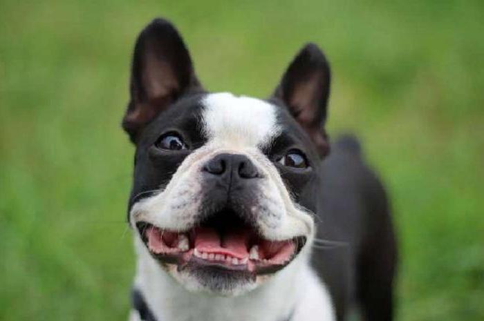 Сын просит собаку, но я не знаю, на какой остановиться. Ветеринар назвал породы, которые легче всего содержать и воспитывать (бассет-хаунд и не только)