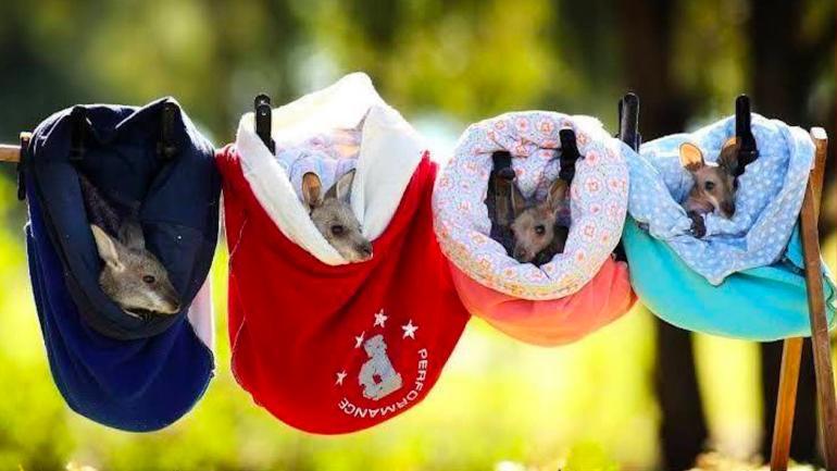 Французский дом моды шьет тканевые сумки для маленьких кенгуру, оставшихся без мамы