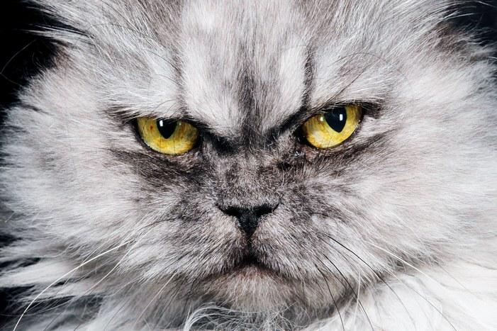 Кошек привлекают выжженные лесными пожарами территории, где они охотятся на уязвимых выживших животных. Это разрушительно для экосистемы