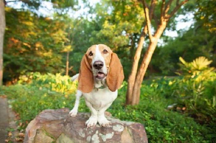 Сын просит собаку, но я не знаю, на какой остановиться. Ветеринар назвал породы, которые легче всего содержать и воспитывать (бассет хаунд и не только)