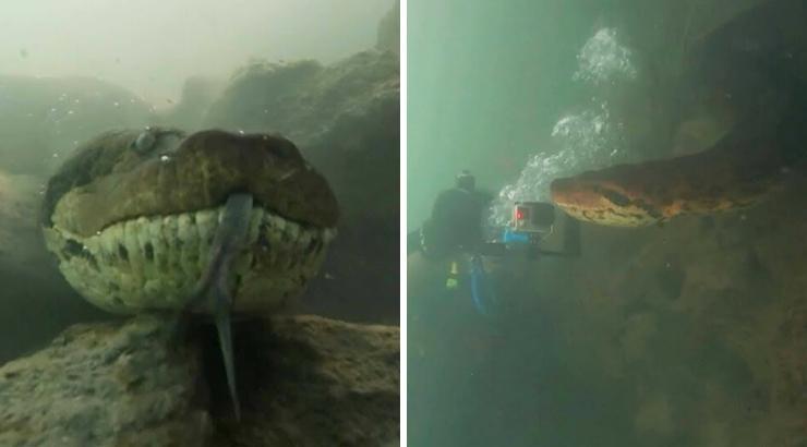 Дайвер неожиданно встретился с гигантской «доброй» анакондой в Бразилии
