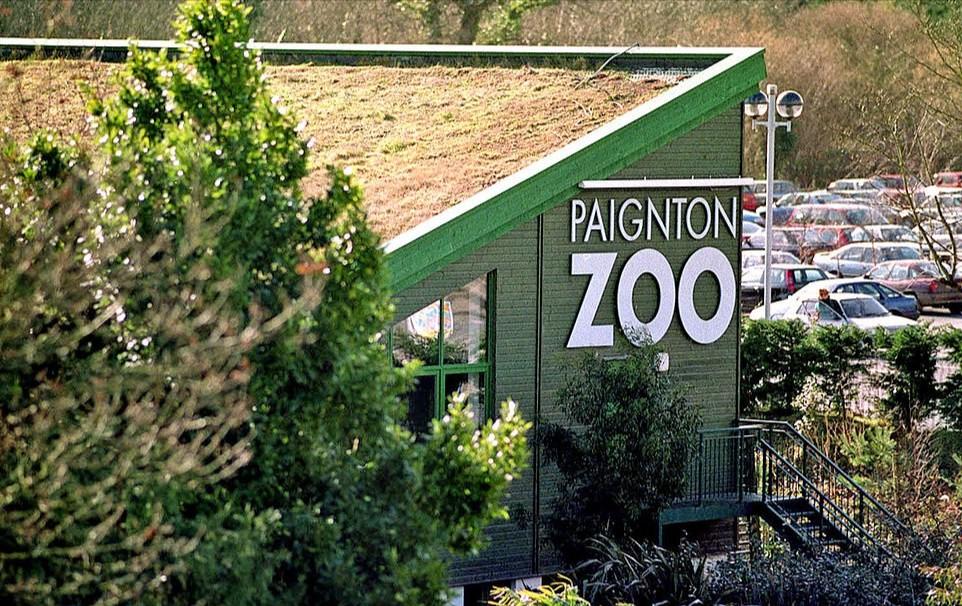 Как люди: 200-килограммовые гориллы Киву и Н'Доу научились ходить на двух ногах и разгуливают по зоопарку