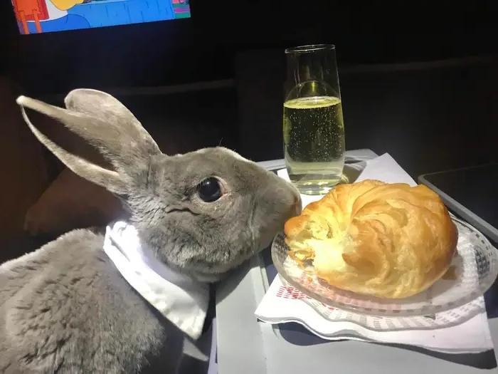 Шампанское и круассаны: кролик в галстуке-бабочке с комфортом путешествует бизнес-классом (фото)