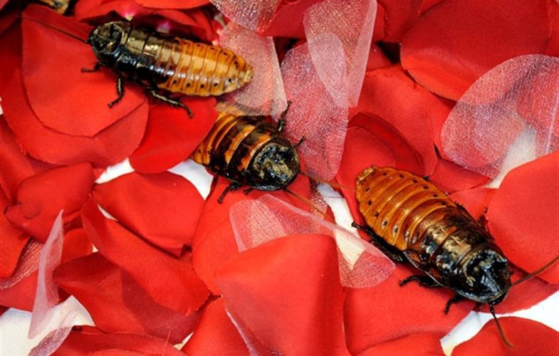 Назвать таракана в честь бывшего: в зоопарке Бронкса запустили акцию к Дню св. Валентина