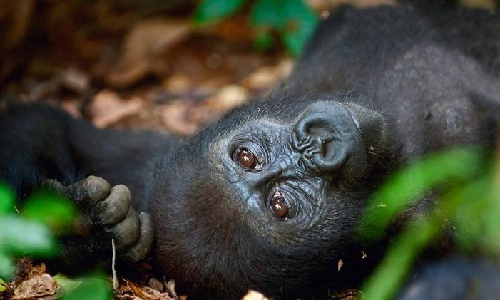 Где в дикой природе можно понаблюдать за различными видами горилл, включая горных и западных равнинных: 10 мест