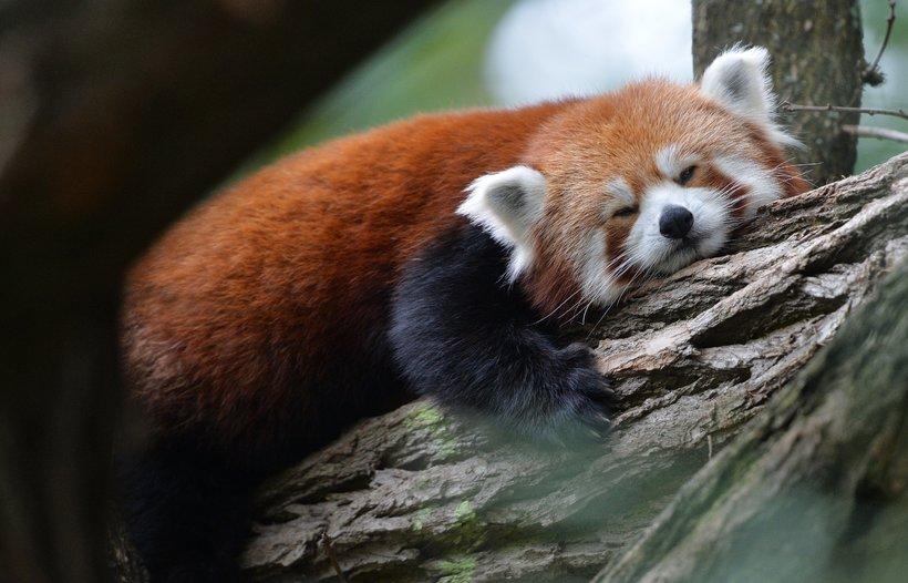 Существует два вида красных панд: этот факт доказан на основе исследований ДНК животных