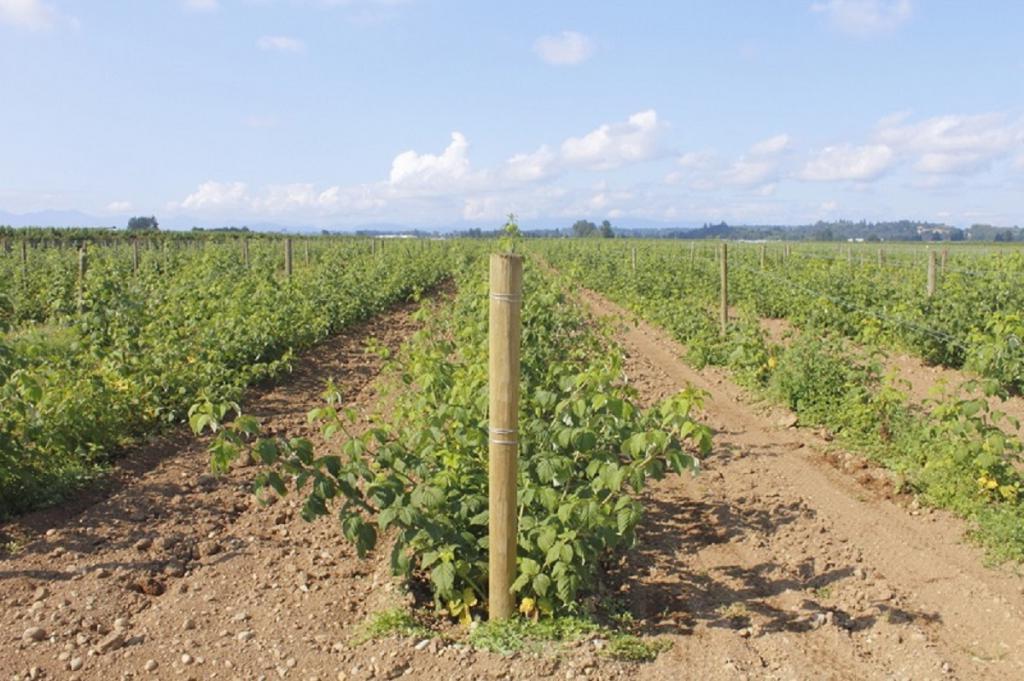 Чтобы собрать летом большой урожай малины и ежевики, нужно в конце зимы обрезать кусты. Как правильно это делать?