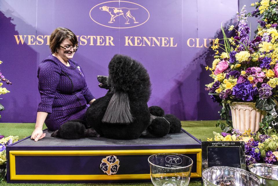 Вестминстерская выставка собак 2020 года: черный пудель покорил сердца судей и зрителей