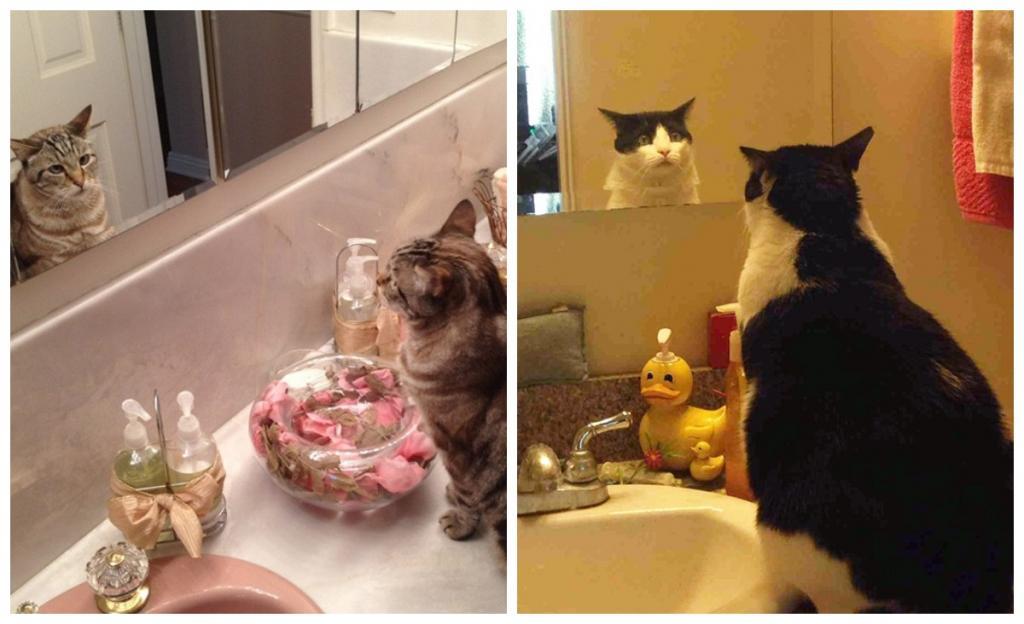 Кто ты? Кошки пытаются понять, кто на них смотрит из зеркала: 9 забавных фото