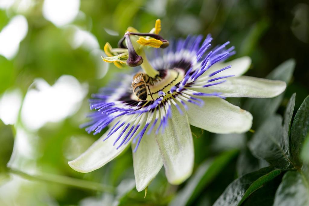 Цветок страсти, холостяцкая пуговица, бегущий бамбук и другие: красивые растения, которые могут захватить сад, если дать им волю