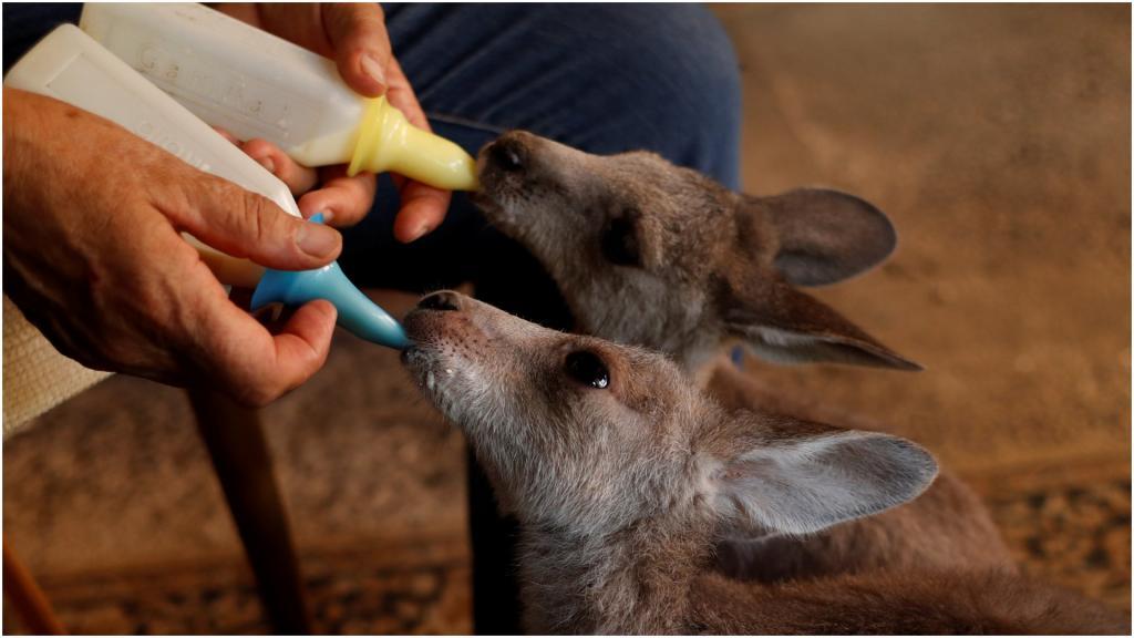 Вместо мамы кенгуру: австралийцы спасли диких животных от пожаров, а теперь показали, как они за ними ухаживают дома