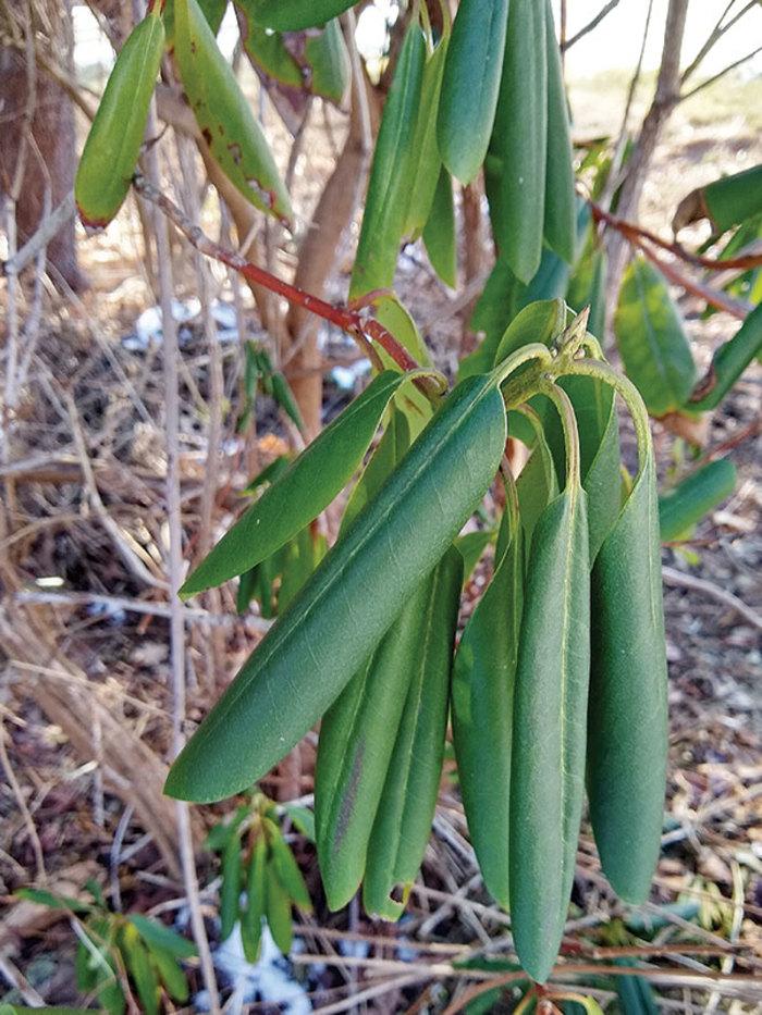 Рододендроны в вашем саду: частые проблемы, с которыми сталкиваются все дачники
