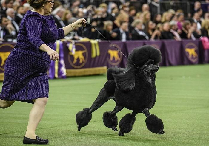 На Вестминстерской выставке собак зрители были уверены, что выиграет их любимчик – золотистый ретривер, но чемпионом стал особенный пудель