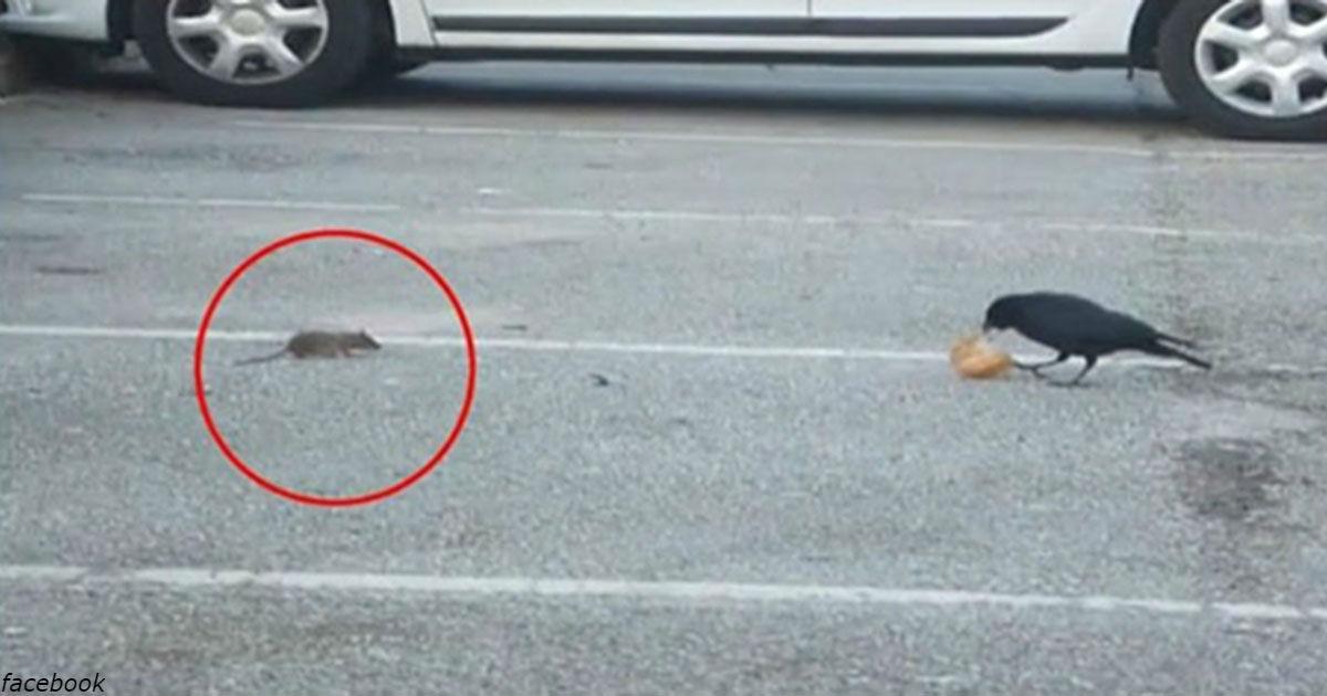 Умная ворона поделилась куском хлеба с голодной мышью. Видео