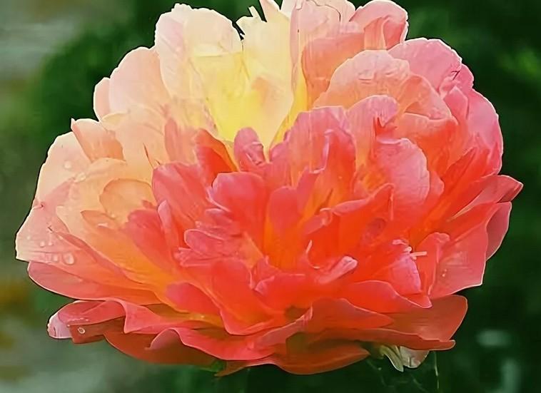 Как правильно посадить пионы: почему лучше выбирать именно розовые