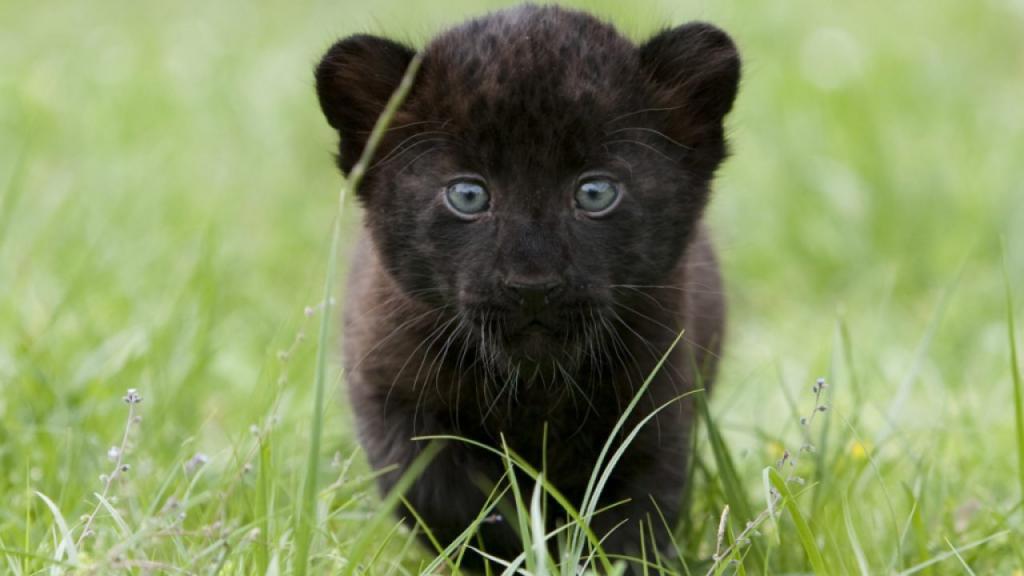 Редкий черный леопард, скрывающийся в Южной Африке: что мы знаем о мифическом животном