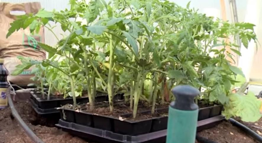 Высаживаем 45 дневную рассаду томатов и баклажанов в теплицу