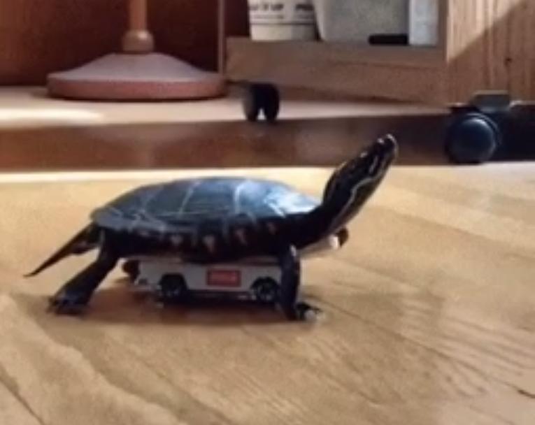 Кто сказал, что черепахи медленные? Наша