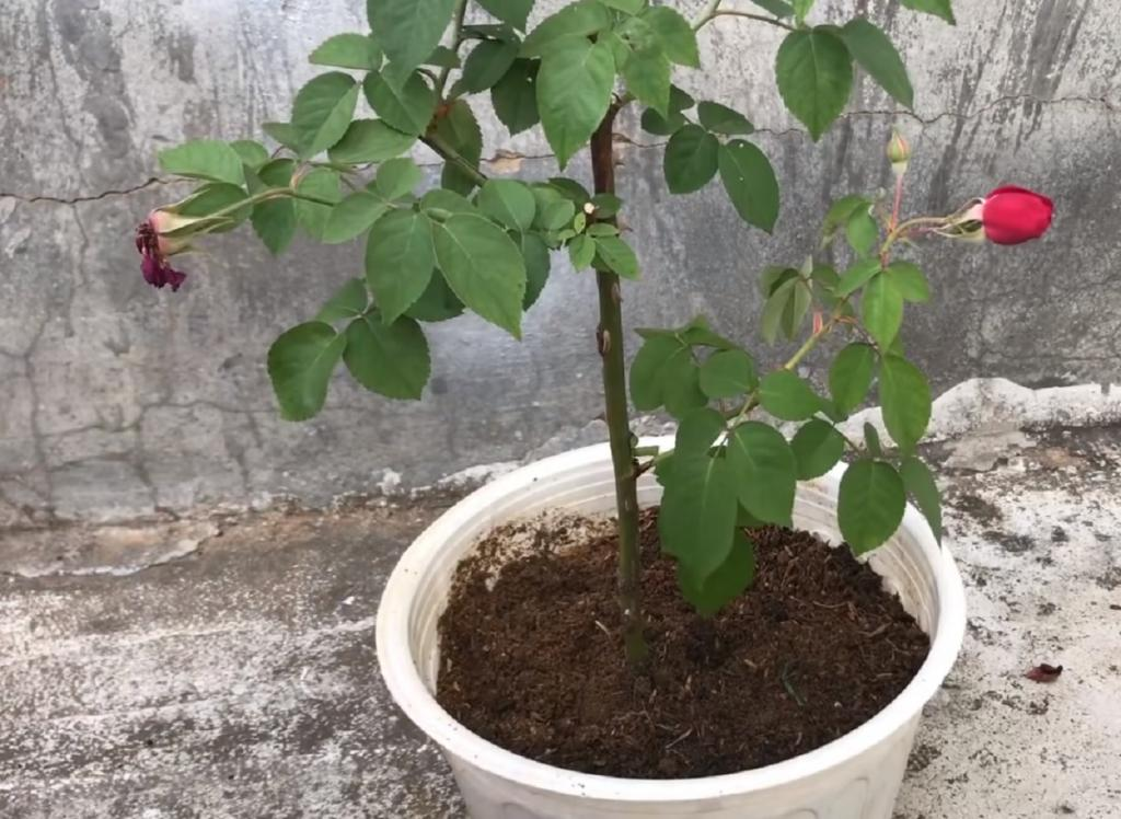 Превращаю розы из букета в куст с помощью кожуры банана и пластиковой бутылки