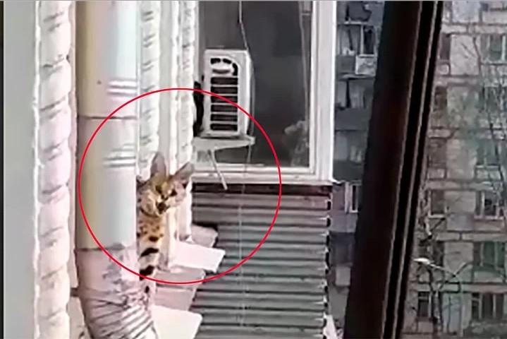Хищный кот породы сервал прогулялся по балконам соседей и съел их гречку (видео)