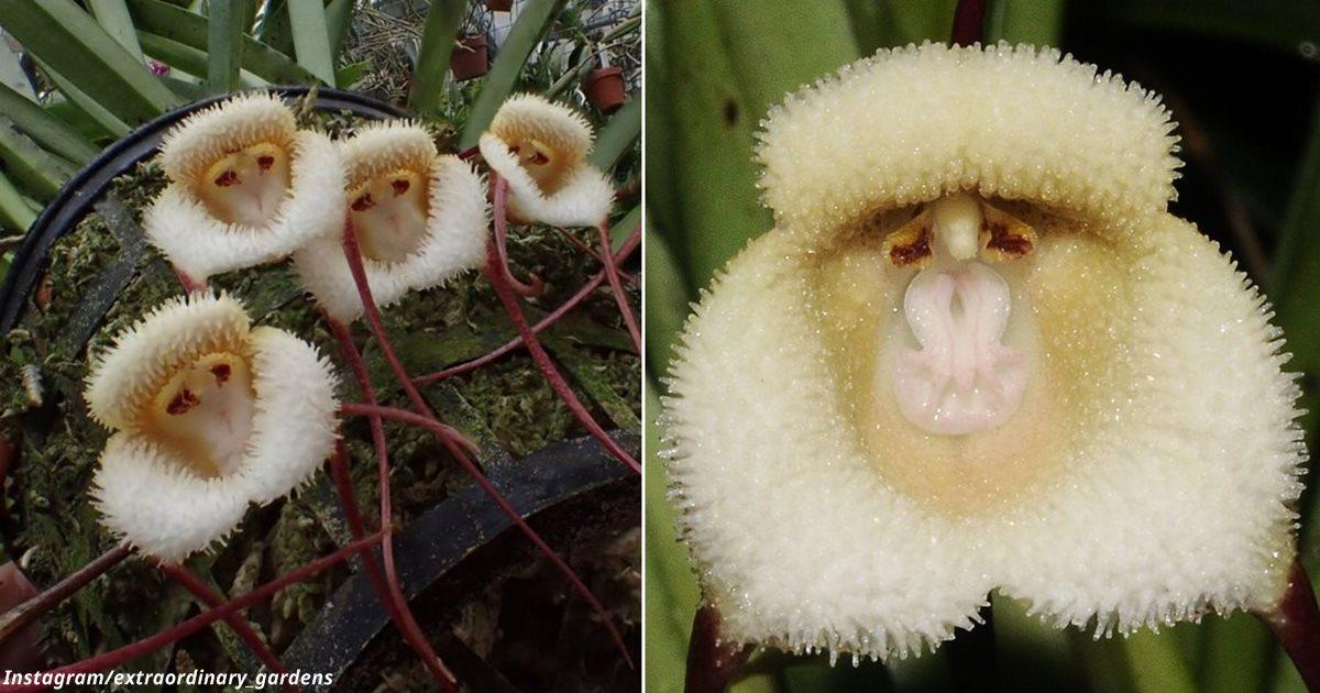 Эти редкие орхидеи похожи на крошечные обезьяньи морды
