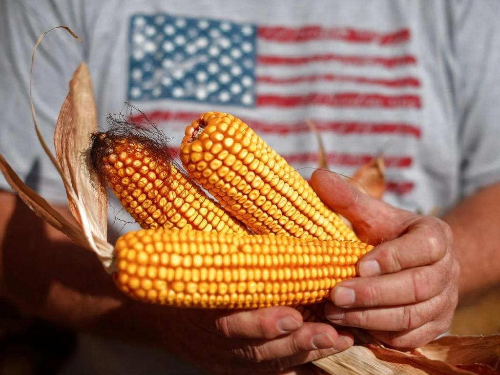 Больше попкорна - больше дождей: как крупномасштабное производство кукурузы в Америке изменило погоду