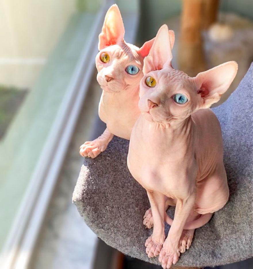 12-летняя девочка делится в соцсетях: как кошки породы сфинкс помогают ей пережить самоизоляцию. Фото