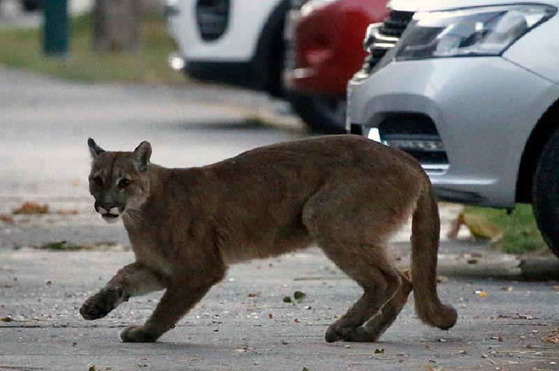 Сначала по улицам городов стали гулять олени, кабаны, лошади и овцы, теперь это делают и другие животные (новые фото)