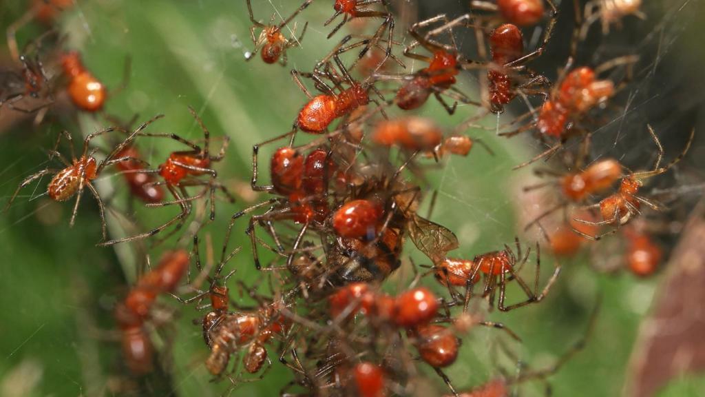 Из 40 000 видов пауков только 25 живут в колониях: ученые изучили их социальное поведение