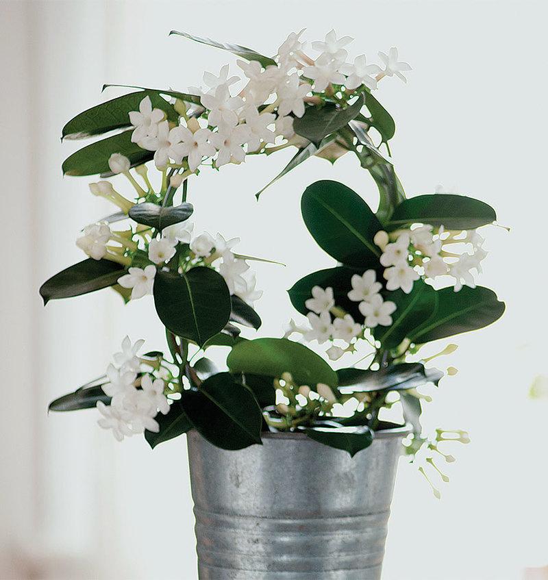 Семь комнатных растений, которые наполнят ваш дом приятным ароматом: хойя, пеларгония и не только