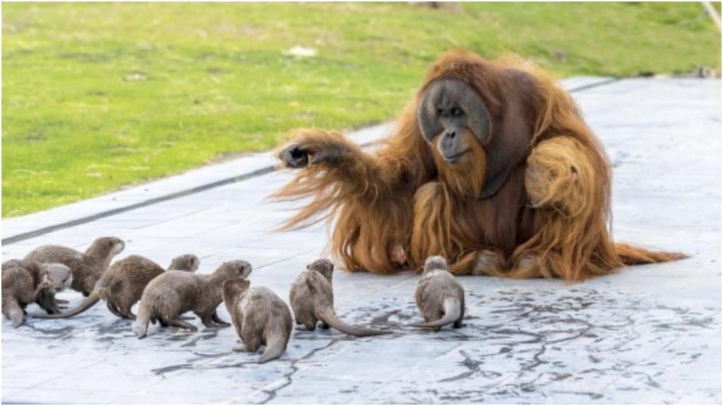 В бельгийском зоопарке выдры повадились навещать семью орангутанов