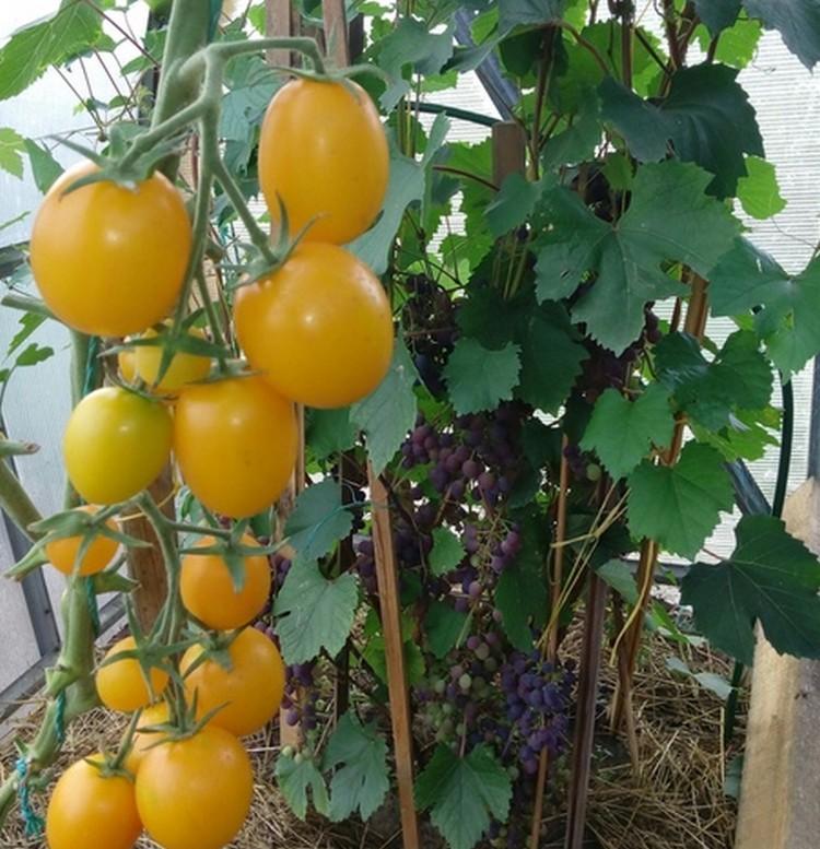 Сажайте желтые помидоры: их употребление способствует продлению молодости - разглаживается кожа, исчезают мелкие морщинки