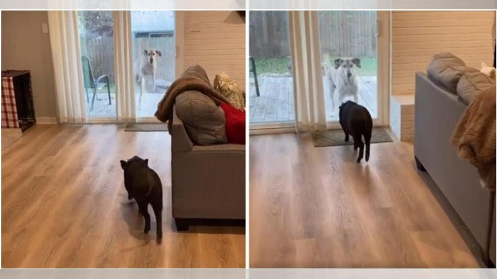 Закадычные друзья: собака всегда радуется, когда в гости приводят свинью