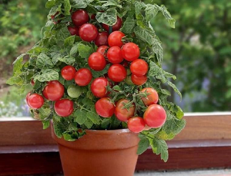 Нет возможности ездить на дачу — не беда: лук, помидоры и другие овощи, которые можно вырастить прямо в квартире