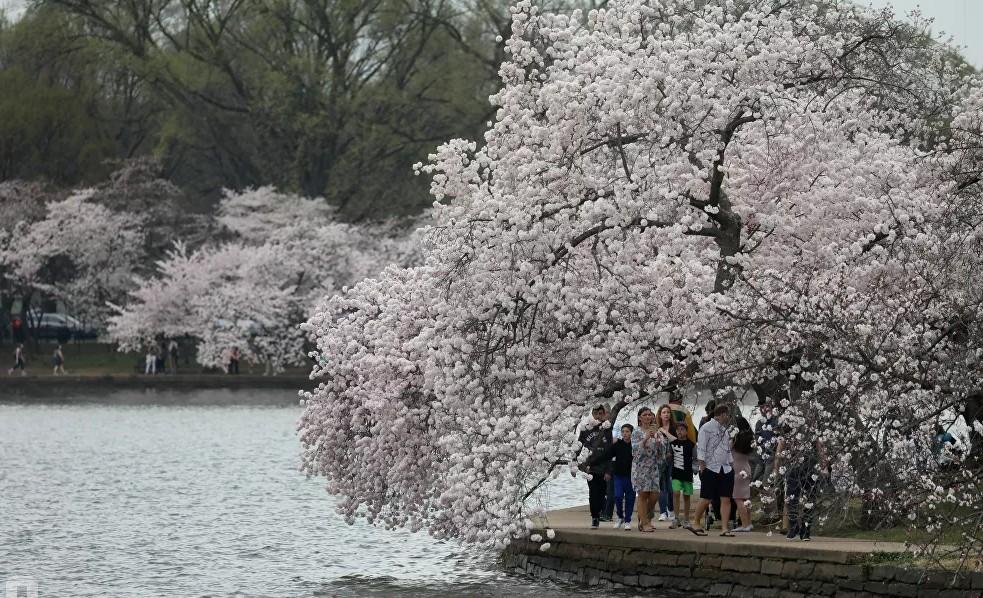 Нежная красота весны: вишня цветет по всему миру