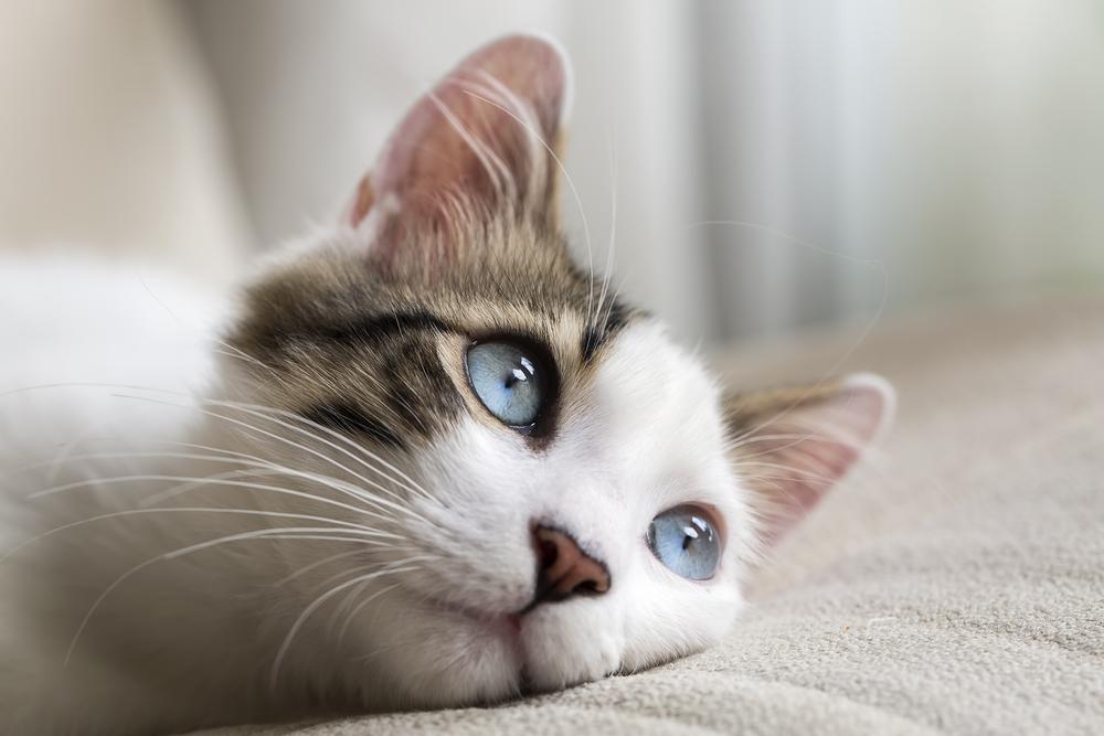 Берегите кошек: ученые выяснили, что человек может заразить воздушным путем кошку, а для котят вирус смертелен