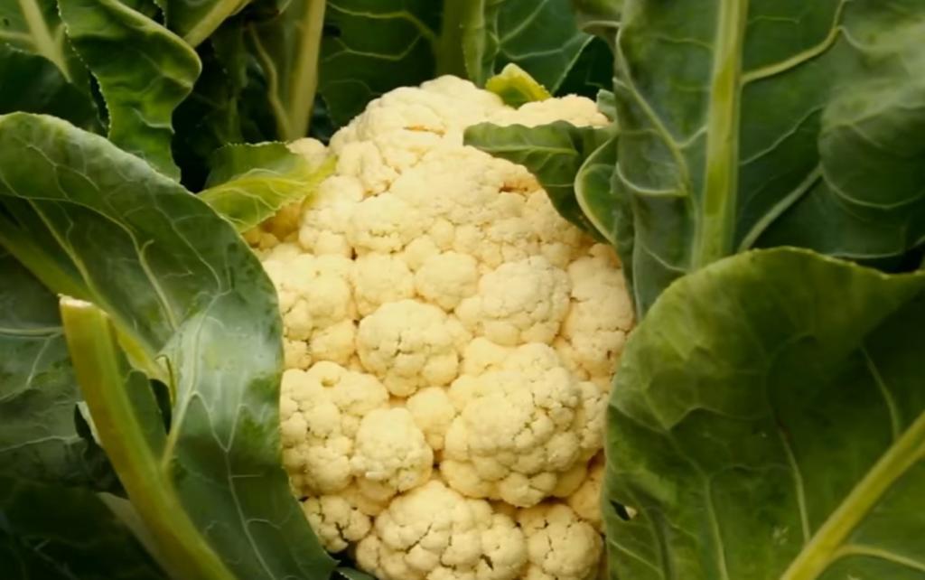 Пришло время сеять на рассаду цветную капусту: секреты выращивания белоснежных головок