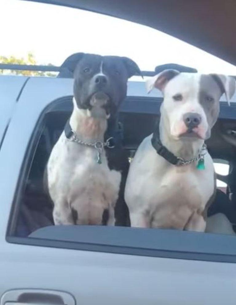 Двое из ларца: пока женщина удивлялась сходству двух собак, в окне автомобиля появилась третья (видео)