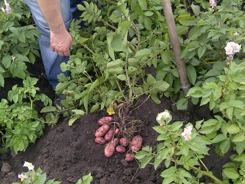 Окучиваю картошку только 30 мая. Тогда Евдокия Свистунья принесет богатый урожай