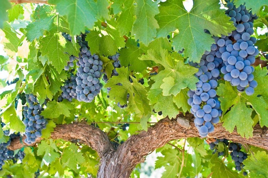 Каждый год, когда мой виноград начинает созревать, я опрыскиваю его содой. Теперь и соседи сказали, что так будут делать