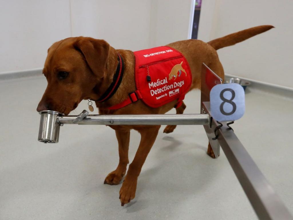 Собак будут учить выявлять людей с бессимптомным течением коронавируса. Тренировка будет длиться 8-10 недель