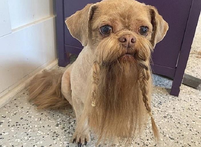 Собака породы ши-тцу стала популярной в Сети благодаря своей бороде: фото