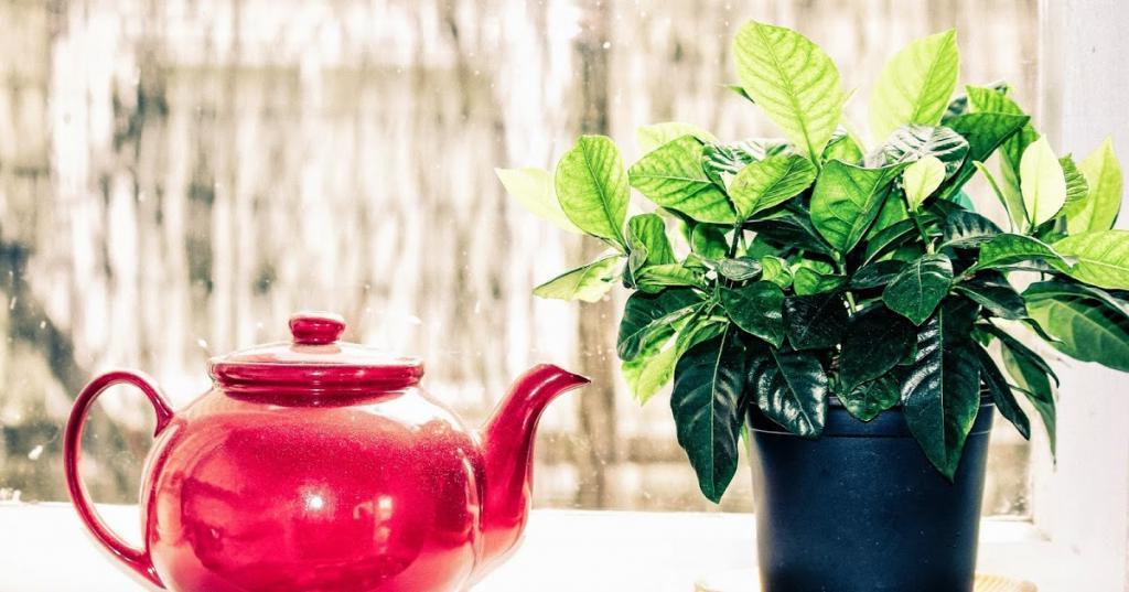 Из всех сортов зеленого чая я выбираю крупнолистовой без добавок: удобряю комнатные растения разными видами чая. Делюсь эффективными способами