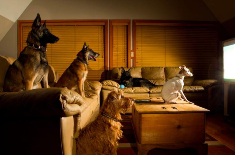 Как на собак влияет телевизионный контент: собаки и правда смотрят телевидение