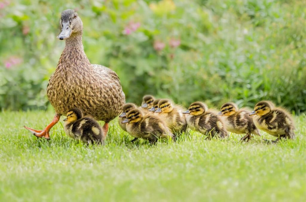 Материнская любовь: поучительная история об утке, которая перехитрила лису и спасла своих утят от хищника