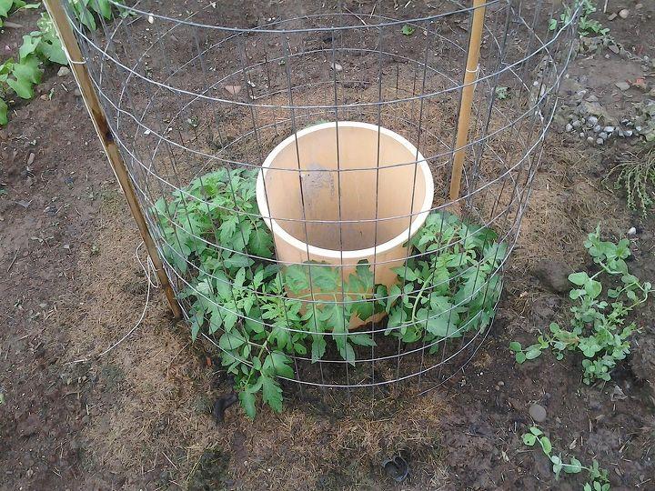 Увидела, как сосед сажает помидоры вокруг ведра - в этом году сделаю так же