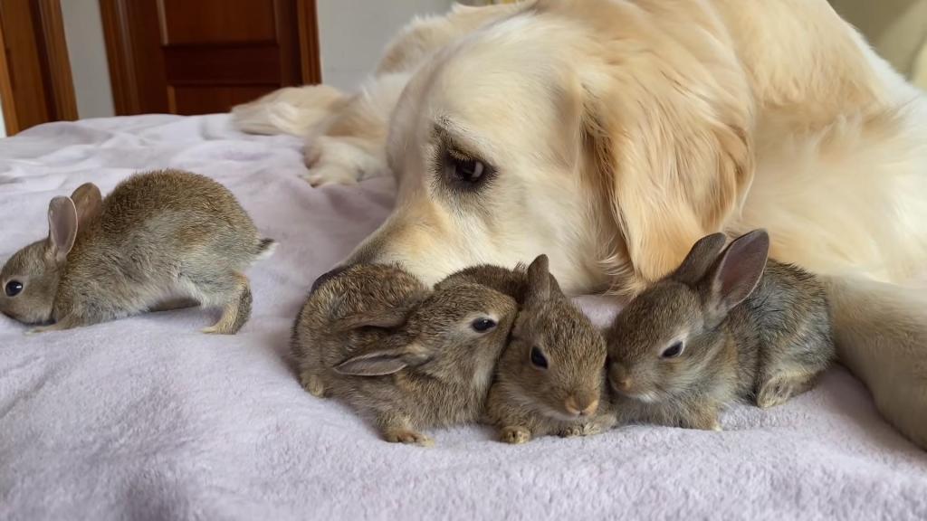 4 крольчонка и собачонка: малыши думают, что золотистый ретривер – их мама