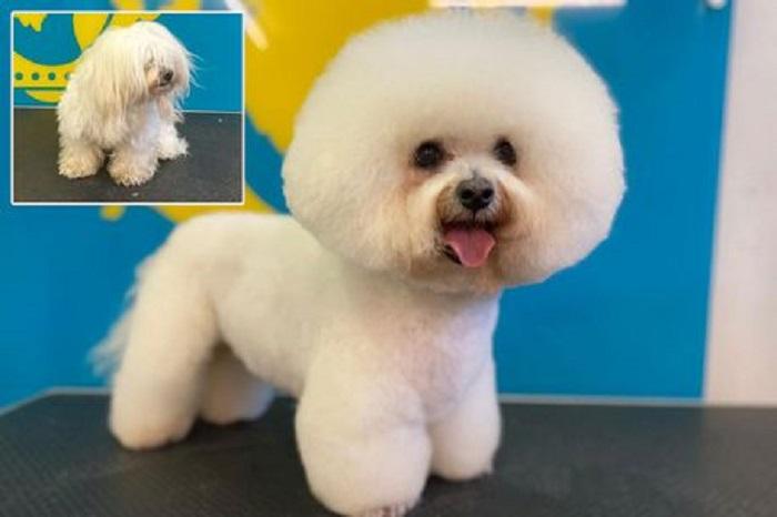 Собачки из-за карантина долго ходили нестриженными: грумер поделился некоторыми фото своих четвероногих клиентов